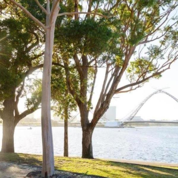 Mardalup park trees with matagarup bridge in the background